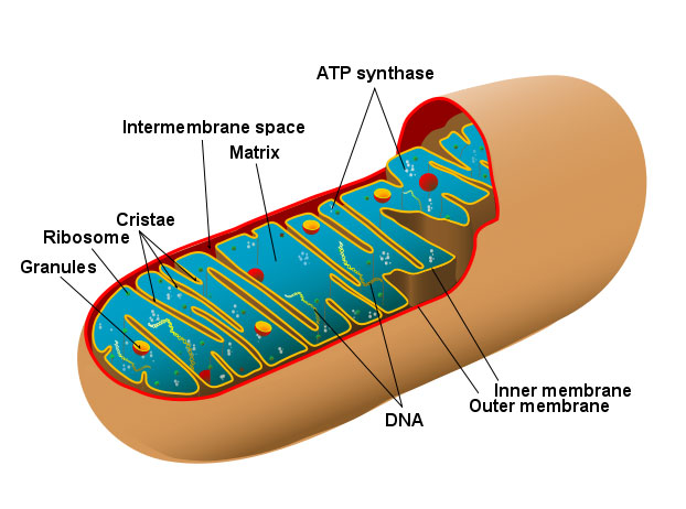 a_mitochondrion