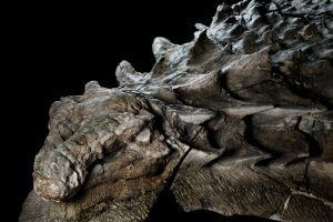 nodosaur fossil canadian mine face.adapt .1900.1 300x200